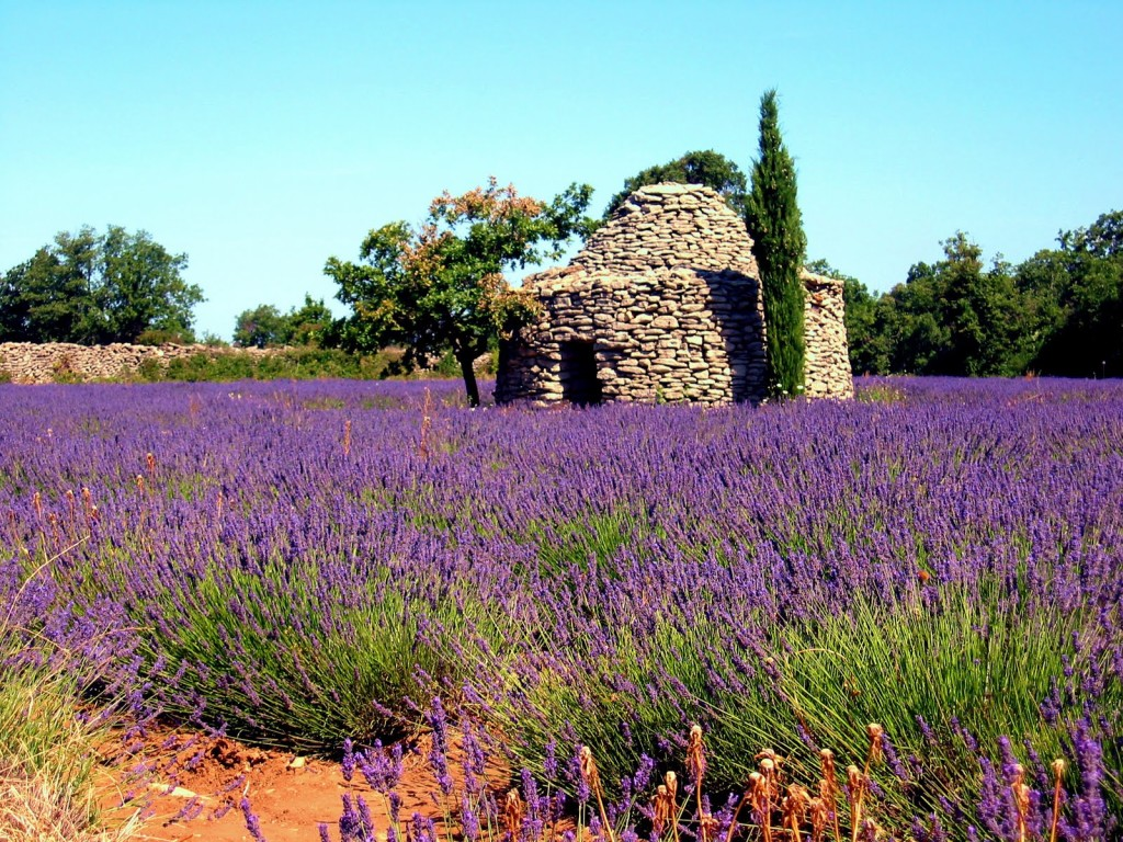 Field of Lavender in the Luberon on the way to Manosque