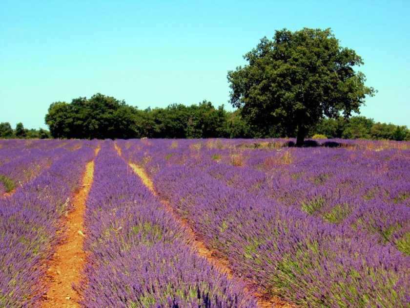 LAVENDER- A FLOWER ROOTED IN SUN-DRENCHED PROVENCE - The