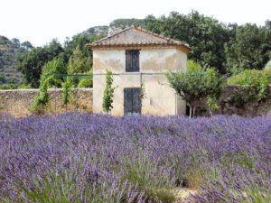 lavender_field_Lourmarin.jpg