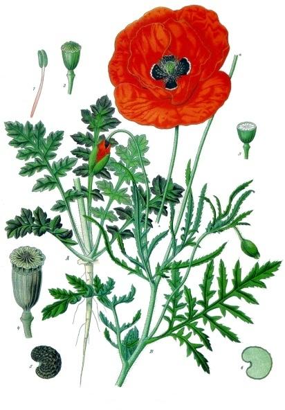 Papaver_rhoeas_-_Köhler–s_Medizinal-Pflanzen-101